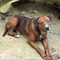 Retriever (Unknown Type)/Rhodesian Ridgeback Mix Dog for adoption in springtown, Texas - Big Red