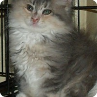 Adopt A Pet :: PRIMROSE - Acme, PA