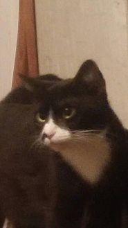 Turkish Van Cat for adoption in Bertram, Texas - Stash