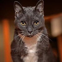 Domestic Shorthair Cat for adoption in Mission Hills, California - Emily