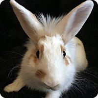 Adopt A Pet :: Taffy - Watauga, TX