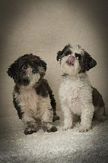 Shih Tzu Dog for adoption in Davie, Florida - Gianni Roy & Cher