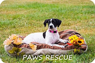 Labrador Retriever/Pointer Mix Puppy for adoption in Forest Hill, Maryland - Elsa