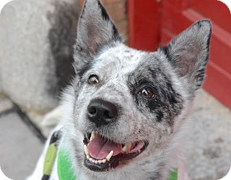 Australian Cattle Dog Mix Dog for adoption in Jersey City, New Jersey - Simone Manuel