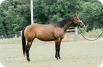 Quarterhorse/Paint/Pinto Mix for adoption in Seneca, South Carolina - Gemma $1500