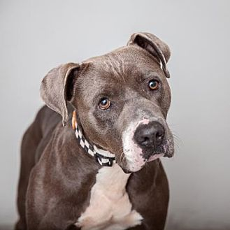 American Staffordshire Terrier Mix Dog for adoption in Mission Hills, California - Midas