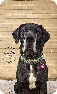 Mastiff/Great Dane Mix Dog for adoption in Mooresville, North Carolina - Sherman 2.0