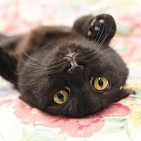 Adopt A Pet :: Ebony - Naperville, IL