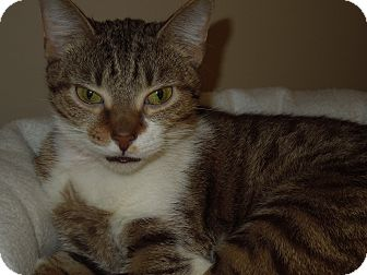 Domestic Shorthair Cat for adoption in Medina, Ohio - Claire