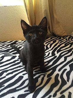 Domestic Shorthair Kitten for adoption in Rosamond, California - Mischief