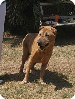 Shar Pei Mix Dog for adoption in Mira Loma, California - Daphne - pending