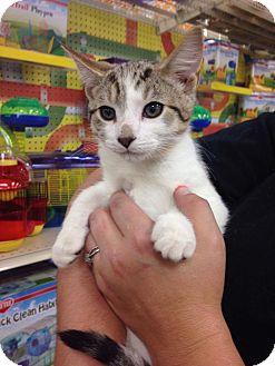 Domestic Shorthair Kitten for adoption in Garner, North Carolina - Stormie