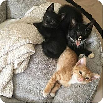 Domestic Shorthair Cat for adoption in New Smyrna Beach, Florida - 3 KITTENS! (Located in Orlando
