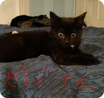Domestic Shorthair Kitten for adoption in Warren, Ohio - Elvira