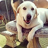 Adopt A Pet :: Snow - Overland PArk, KS