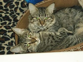 Domestic Mediumhair Cat for adoption in Cypress, Texas - Tiger Kitty