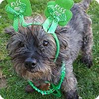 Adopt A Pet :: Dixie Chick Starr - Fairmont, WV