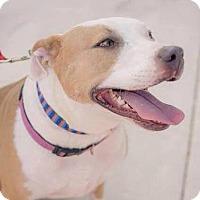 Adopt A Pet :: Scarlett - San Antonio, TX
