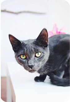 Domestic Shorthair Cat for adoption in Freeport, New York - Slate