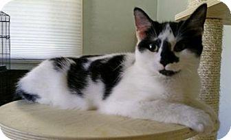 Domestic Shorthair Kitten for adoption in Philadelphia, Pennsylvania - Cooper *Adoption Pending*