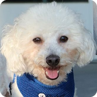 Bichon Frise Mix Dog for adoption in La Costa, California - Gizmo