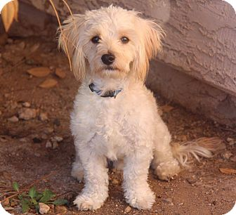 Maltese/Poodle (Miniature) Mix Puppy for adoption in Phoenix, Arizona - Lucky