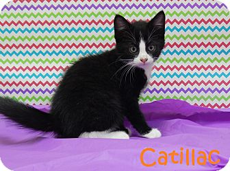 Domestic Mediumhair Kitten for adoption in Bucyrus, Ohio - Catilac