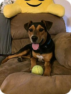 Beagle/Australian Shepherd Mix Dog for adoption in Lansing, Kansas - Buster