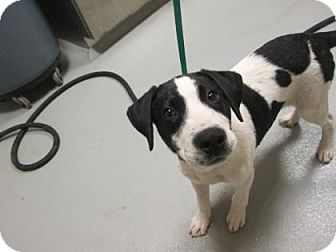 Pointer Mix Puppy for adoption in Cumming, Georgia - Cubby