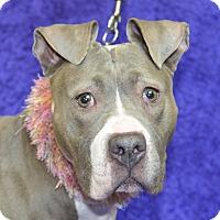 Adopt A Pet :: Diva - Jackson, MI