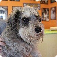 Schnauzer (Miniature) Mix Dog for adoption in New Orleans, Louisiana - Rudy