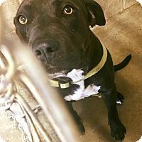 Adopt A Pet :: Simon - Boston, MA