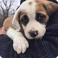 Adopt A Pet :: Sophie - Pottstown, PA
