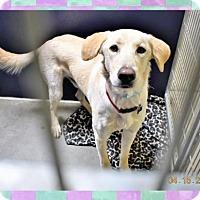 Adopt A Pet :: Yellow Lab male X - San Jacinto, CA