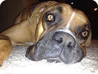 Boxer Dog for adoption in Phoenix, Arizona - Kingston