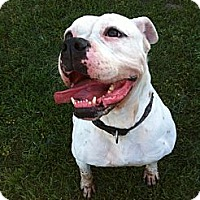 American Bulldog Mix Dog for adoption in Bellflower, California - Buffy-Watch my Video!