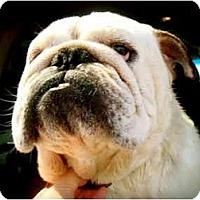 Adopt A Pet :: Sumo*adoption pending* - Gilbert, AZ