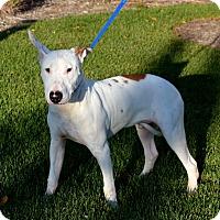 Adopt A Pet :: Winston - Chicago, IL