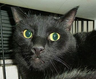 Domestic Shorthair Cat for adoption in Carmel, New York - Andy