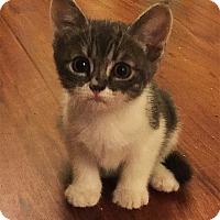 Adopt A Pet :: Dandelion - N. Billerica, MA