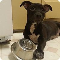 Adopt A Pet :: Sweet Pea - Phoenix, AZ