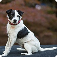 Adopt A Pet :: Chester - Salem, OR