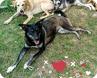 Shepherd (Unknown Type)/Husky Mix Dog for adoption in Appleton, Wisconsin - Shadow