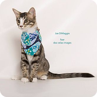 Domestic Mediumhair Kitten for adoption in Riverside, California - Joe DiMaggio