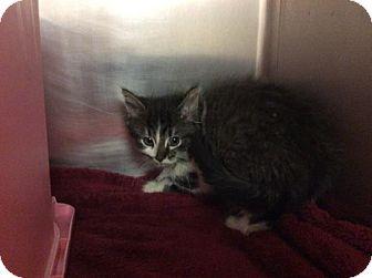 Domestic Mediumhair Kitten for adoption in Janesville, Wisconsin - Venus