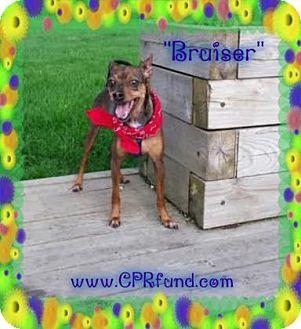 Miniature Pinscher Dog for adoption in Lowell, Indiana - Bruiser