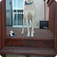 Adopt A Pet :: Bruiser - West Valley, UT
