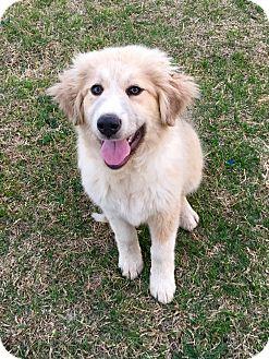 Great Pyrenees/Anatolian Shepherd Mix Puppy for adoption in Tulsa, Oklahoma - Eloise
