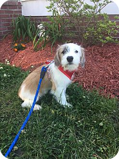 Terrier (Unknown Type, Small) Mix Puppy for adoption in Hampton, Virginia - Sonny