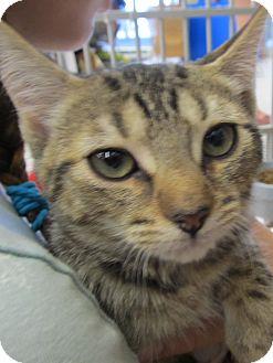 Domestic Shorthair Kitten for adoption in Riverhead, New York - Phia